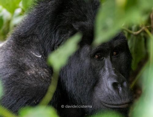 I Gorilla di montagna aumentano di numero
